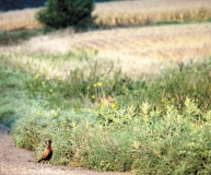 Pheasants like to escape the wet grass in the early morning hours.